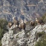 Vultures in las Hoces del Duraton, Segovia, Spain — Stock Photo #8006695