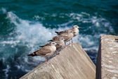 Seagulls in Llanes, Asturias, Spain — Stock Photo