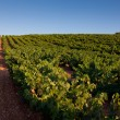 Stock Photo: Vineyard in Najera, La Rioja, Spain