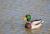 Duck in Salburua, Vitoria, Alava, Spain — Stock Photo