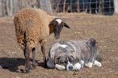 Flock of sheep, The Omañas, Leon, Spain — Stock Photo