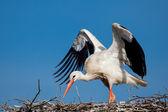 Stork, Vitoria, Alava, Spain — Stock Photo