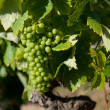 Grapes in La Rioja, Spain — Stock Photo