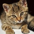 Stock Photo: Lovely tabby kitten looking directly into camera