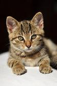 Lovely tabby tomcat — Stock Photo
