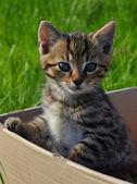 Tabby kitten in the box in the garden — Stock Photo