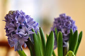 Flowering blue hyacinth at home — Stock Photo
