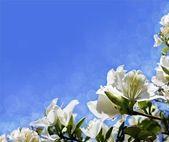 Fleurs blanches acacia — Photo