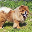 Young chow chow dog — Stock Photo #10413198