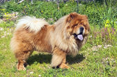 Young chow chow dog — Stock Photo