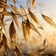 Stock Photo: Spikelets of oats
