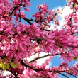 Stock Photo: Flowering tree