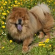 Stock Photo: Chow chow dog on a glade of yellow flowers