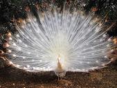 Beautiful peacock albino — Stock Photo