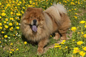 Chow chow dog on a glade of yellow flowers — Stock Photo