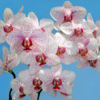 Branch of purple and white orchid - Stock Photo