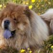 Chow chow dog - Stock Photo