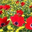Stock Photo: Glade of red poppies
