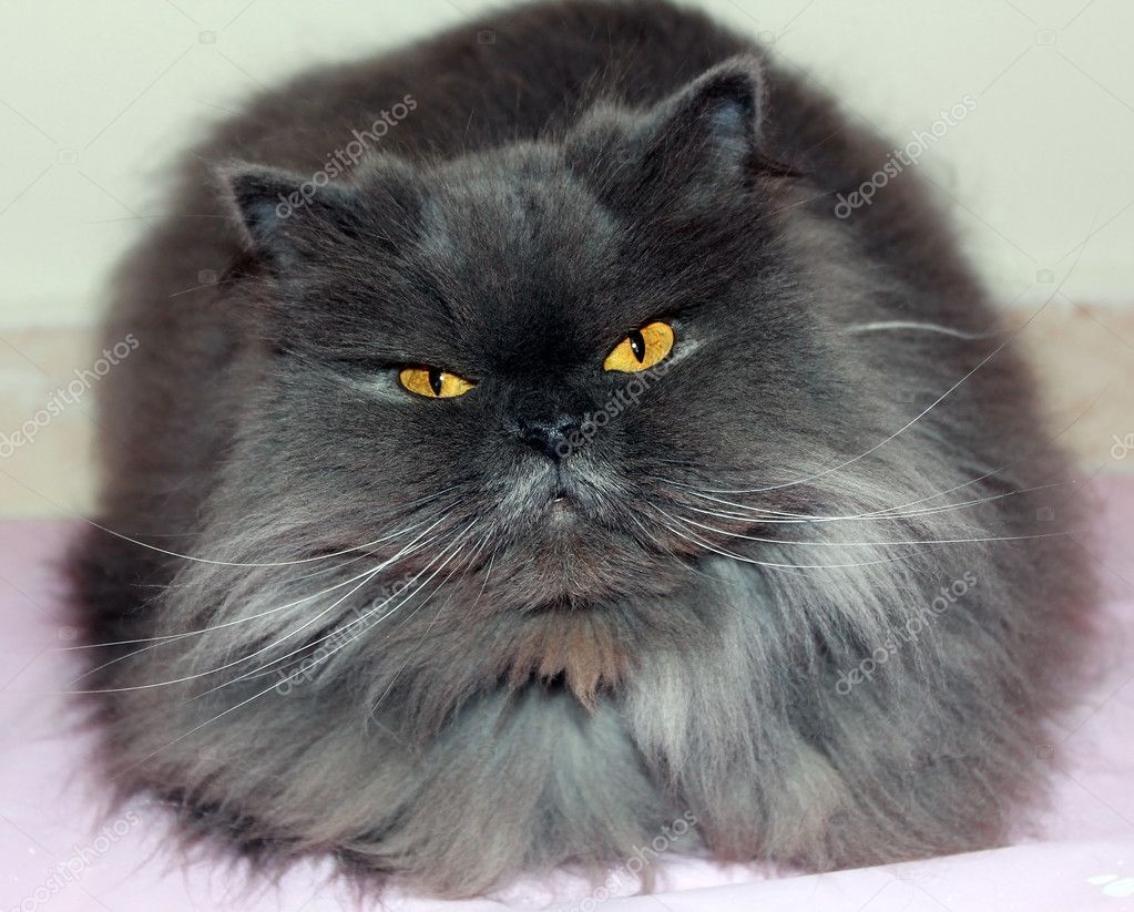 Grey And White Persian Cat Smoky gray persian cat - stock