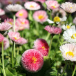 Small chrysanthemum — Stock Photo