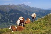Vaches broutant dans les prairies alpines — Photo