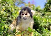 Black-capped squirrel monkey — Stock Photo
