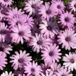 Stock Photo: Light purple garden chrysanthemums