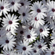 White garden chrysanthemums — Foto de Stock
