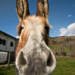 Stock Photo: Curious donkey
