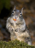 YOSEMITE SQUIRREL — Stock Photo