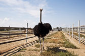 The african ostrich (Struthio camelus) — Stock Photo
