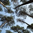 Lofty pine trees, sky — Stock Photo #10590648