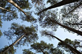 Lofty pine trees, sky — Stock Photo