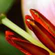 Stock Photo: Flower Lily