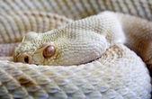 Serpiente peligrosa — Foto de Stock