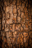 Bark of Pine Tree — Stockfoto