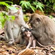 Long-tailed macaques — Stock Photo #9937861