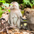 Long-tailed macaques — Stock Photo #9937872