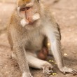 Long-tailed macaques — Stock Photo #9937891