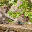 Long-tailed macaques — Stock Photo #9937902