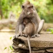Long-tailed macaques — Stock Photo #9937905