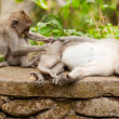 Long-tailed macaques — Stock Photo