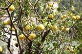 Muchos limones grandes en un árbol — Foto de Stock