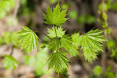 Junge Ahorn-Busch mit Frische Blätter — Stockfoto