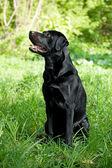 Labrador Retriever — Foto de Stock