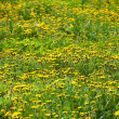 Meadow with lots of blooming dandelions — Stock Photo #10557729