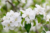Flowers bloom on a branch of apple — Stock Photo