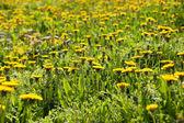 Meadow of blooming dandelions — Stock Photo