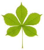 Photographed close-up of fresh chestnut leaf — Stock Photo