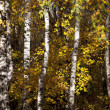 The trunks of birch trees with yellow and orange fall foliage — Foto Stock